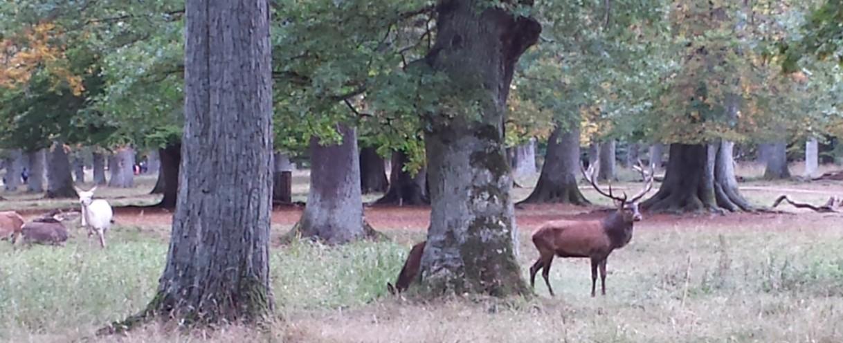 Buck in Deer Park